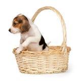 Cucciolo del cane da lepre in un canestro Fotografie Stock