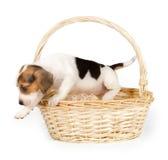 Cucciolo del cane da lepre in un canestro Immagine Stock Libera da Diritti