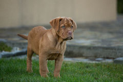 Cucciolo del cane del Bordeaux Immagini Stock Libere da Diritti