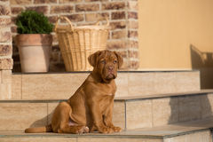 Cucciolo del cane del Bordeaux Fotografia Stock