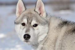 Cucciolo del cane del husky siberiano grigio e bianco nell'inverno che guarda indietro ritratto Fotografia Stock Libera da Diritti