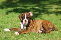 Cucciolo del cane del pugile Fotografia Stock Libera da Diritti