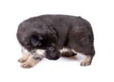 Cucciolo del cane del `s del pastore che guarda indietro Fotografia Stock Libera da Diritti