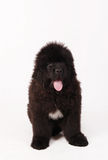 Cucciolo del cane della Terranova Fotografie Stock