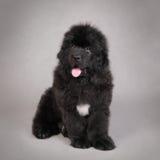Cucciolo del cane della Terranova Immagine Stock