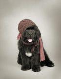 Cucciolo del cane della Terranova Fotografie Stock Libere da Diritti