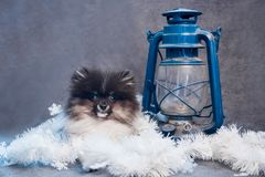 Cucciolo del cane dello Spitz di Pomeranian in ghirlande sul Natale o sul nuovo anno fotografie stock libere da diritti