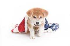Cucciolo del cane di Akita in studio bianco con la coperta Fotografia Stock Libera da Diritti