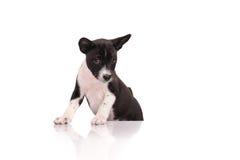 Cucciolo del cane di Basenji immagine stock
