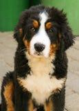 Cucciolo del cane di montagna di Bernese Fotografia Stock Libera da Diritti