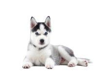 Cane con gli occhi azzurri foto stock iscriviti gratis - Cane occhi azzurri ...