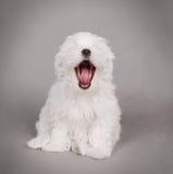 Cucciolo del cane maltese Fotografie Stock