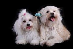 Cucciolo del cane maltese due Fotografia Stock Libera da Diritti