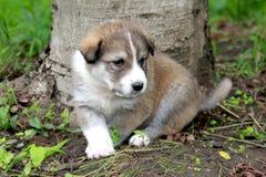 Cucciolo del cane pastore Fotografia Stock