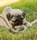 Cucciolo del carlino sull'erba verde con la corda della corda Immagine Stock Libera da Diritti