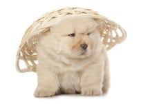 Cucciolo del chow-chow Immagine Stock