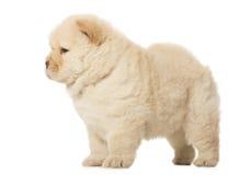 Cucciolo del chow-chow Fotografie Stock Libere da Diritti