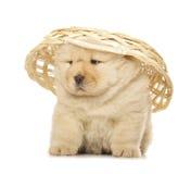Cucciolo del chow-chow fotografia stock libera da diritti