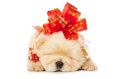Cucciolo del chow-chow con il grande arco rosso Fotografie Stock