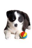 Cucciolo del collie di bordo Fotografie Stock