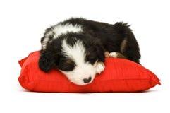 Cucciolo del Collie di bordo Fotografia Stock