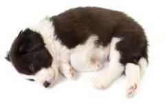 Cucciolo del collie di bordo di sonno Fotografie Stock