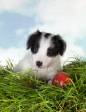 Cucciolo del collie di bordo in erba Immagini Stock Libere da Diritti