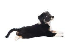 Cucciolo del Collie di bordo, isolato sul bianco Fotografia Stock