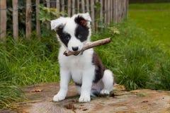 Cucciolo del collie di bordo su erba Immagini Stock