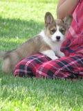 Cucciolo del Corgi fotografia stock
