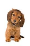 Cucciolo del Dachshund Immagine Stock Libera da Diritti