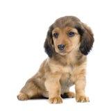 Cucciolo del Dachshund Immagine Stock