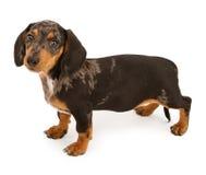 Cucciolo del Dachshund che osserva in avanti Fotografia Stock Libera da Diritti