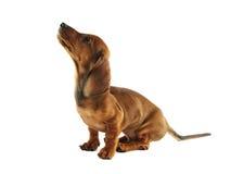 Cucciolo del Dachshund che osserva in su Fotografie Stock Libere da Diritti