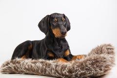 Cucciolo del doberman Fotografie Stock