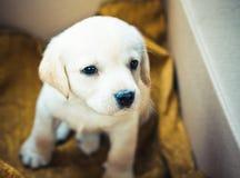 Cucciolo del documentalista di labrador Fotografia Stock