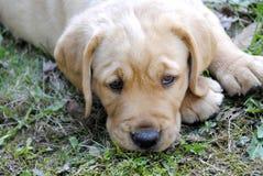 Cucciolo del documentalista di labrador Fotografie Stock