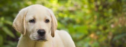 Cucciolo del documentalista di labrador nella bandiera dell'iarda Fotografie Stock Libere da Diritti