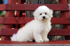 Cucciolo del frise di Bichon Immagine Stock