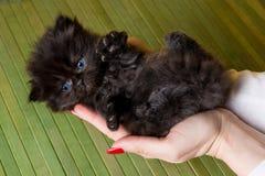 Cucciolo Del Gatto Persiano Immagine Stock Immagine Di Adorable