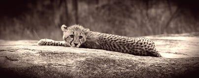 Cucciolo del ghepardo immagini stock