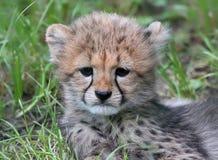 Cucciolo 02 del ghepardo Immagine Stock Libera da Diritti