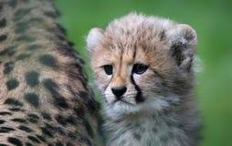 Cucciolo 03 del ghepardo Fotografie Stock