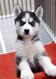 Cucciolo del husky immagine stock libera da diritti