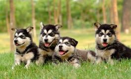 Cucciolo del husky Immagine Stock