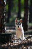 Cucciolo del husky Fotografie Stock
