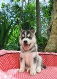Cucciolo del husky Fotografie Stock Libere da Diritti