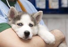 Cucciolo del husky al controllare Immagini Stock Libere da Diritti