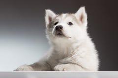 Cucciolo del husky che cerca situantesi Fotografia Stock