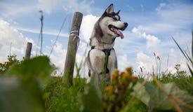 Cucciolo del husky con il palo Immagini Stock